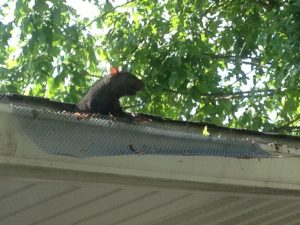 squirrel eating through old gutter protection